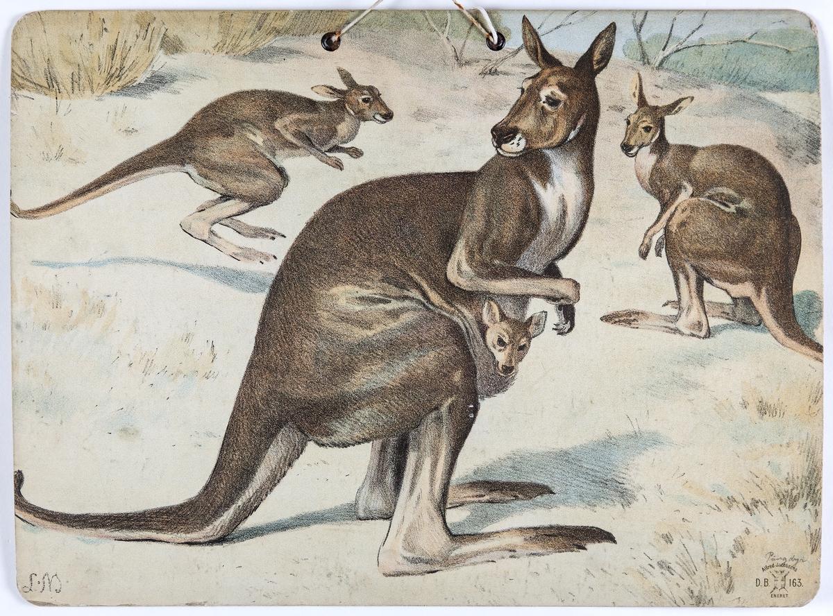 Skoleplansje, naturfag. Illustrert på begge sider, forestiller kameler (nr. 124)) og kenguruer (nr. 163).