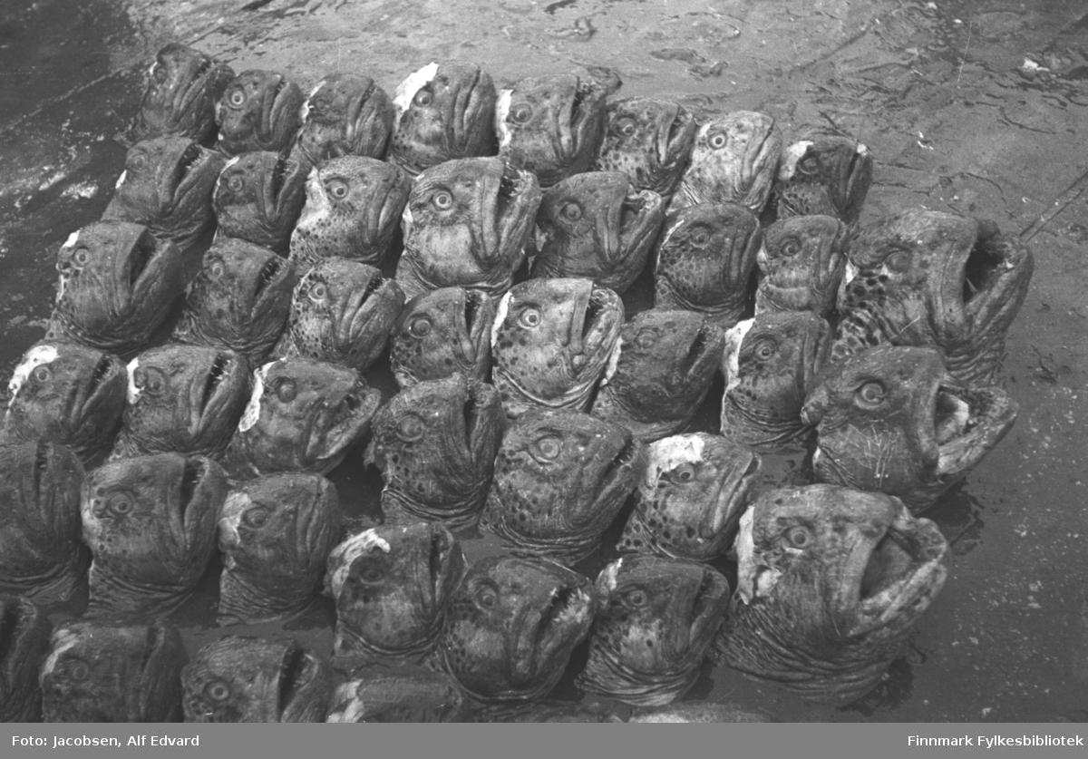 Bilde av steinbithoder, antagelig tatt på kaia i Havøysund. Hodene er stilt opp på ni rekker. De første tre hodene er litt større en resten.