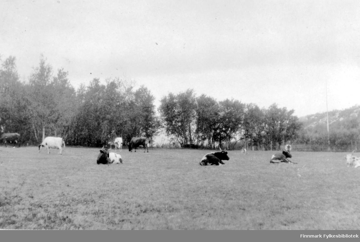 Fotografi av flere kyr og okser som er på en eng. Noen ligger og noen står og spiser. I bakgrunnen er det trær. Det står en flaggstang til høyre i bildet. Bak den er det en fjellskråning