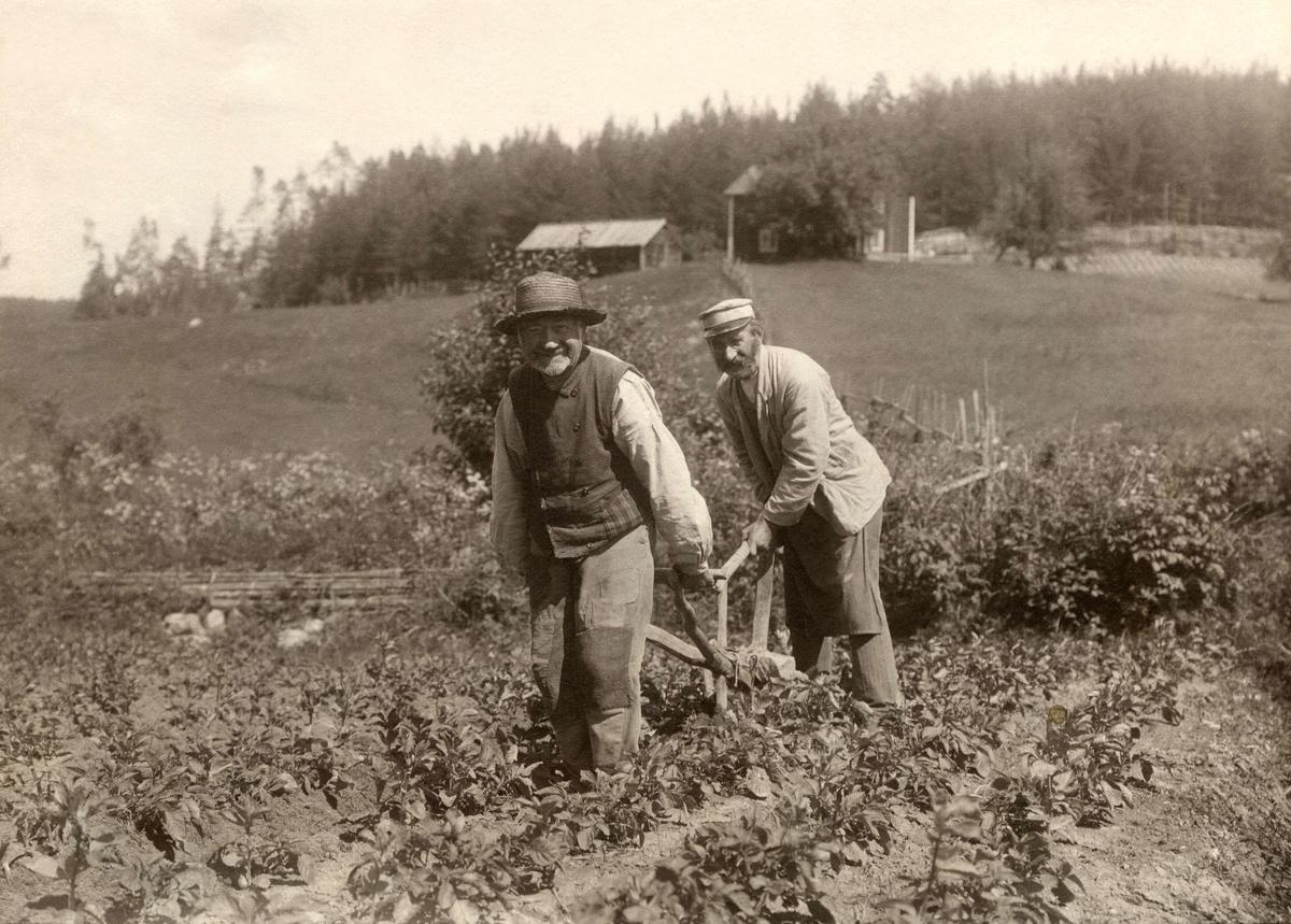 Två män kupar potatislandet