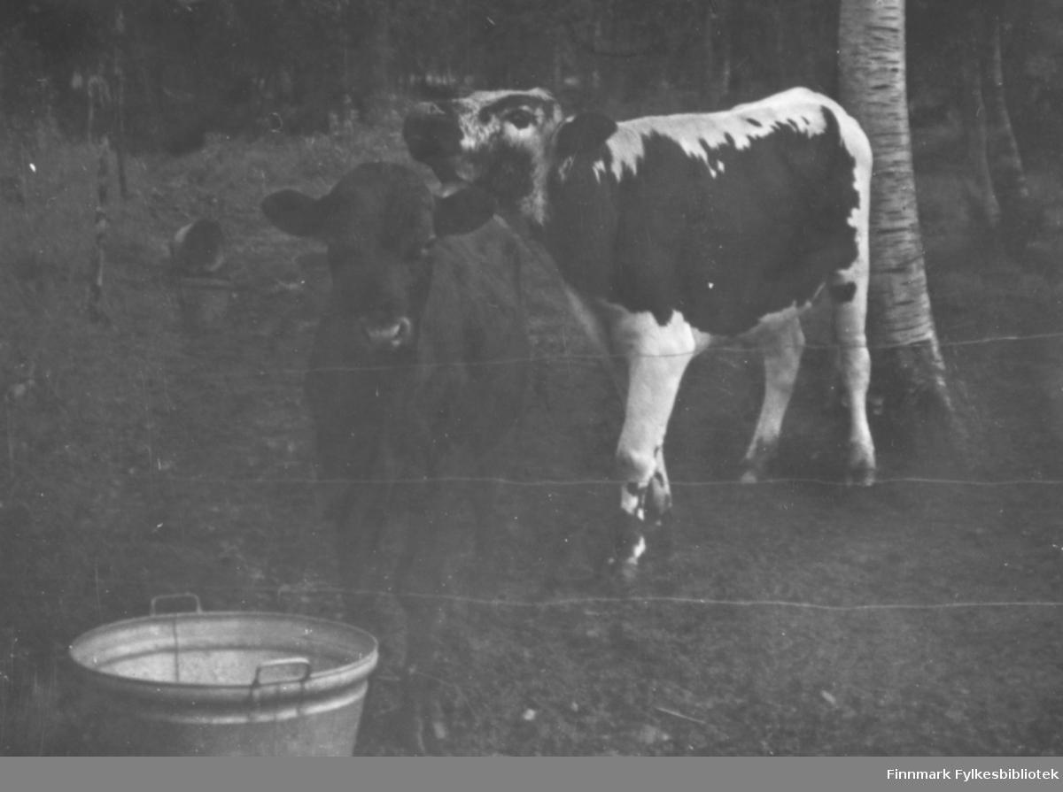 To kalver står inngjerdet på et skogsjorde. Foran gjerdet ser vi en bøtte. Ca.1960.