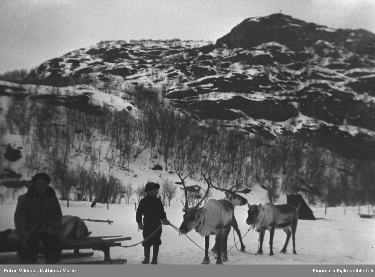 Tre kjørerein på jordet til Mikkelsnes i Neiden. En gutt holder grima deres, en mann sitter på en slede, begge er ukjente