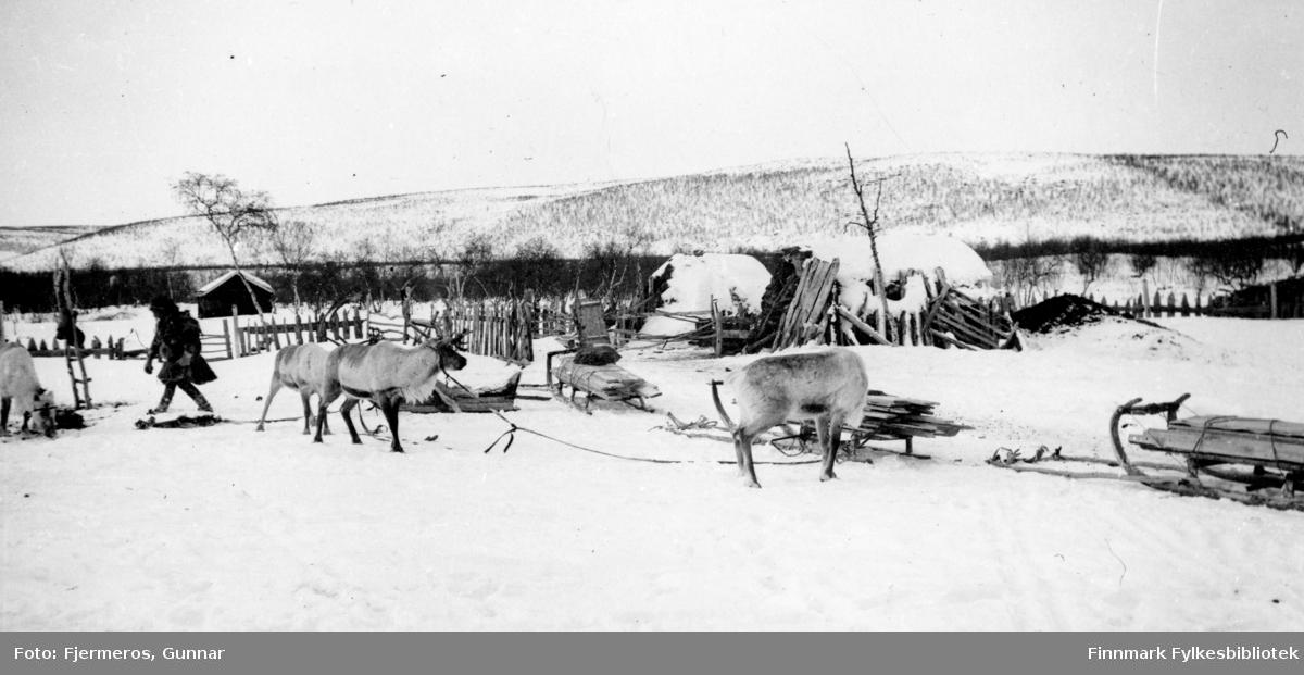 Påske på Jergul i Karasjok kommune. Flere reinsdyr og sleder ses på sletten foran på bildet.