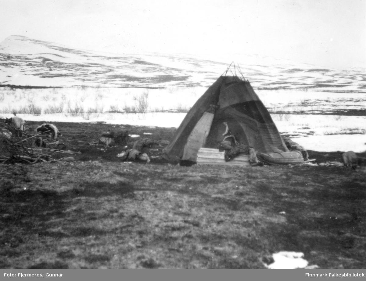 En lavvo står som en del av en sameleir i fjellet ovenfor Kjæs i Porsanger. Bildet er tatt i april/mai 1948.