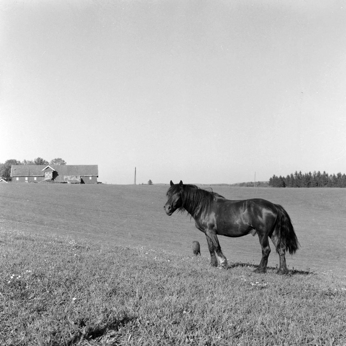 Hest på jordet, Sørum i Gjerdrum ca. 1962