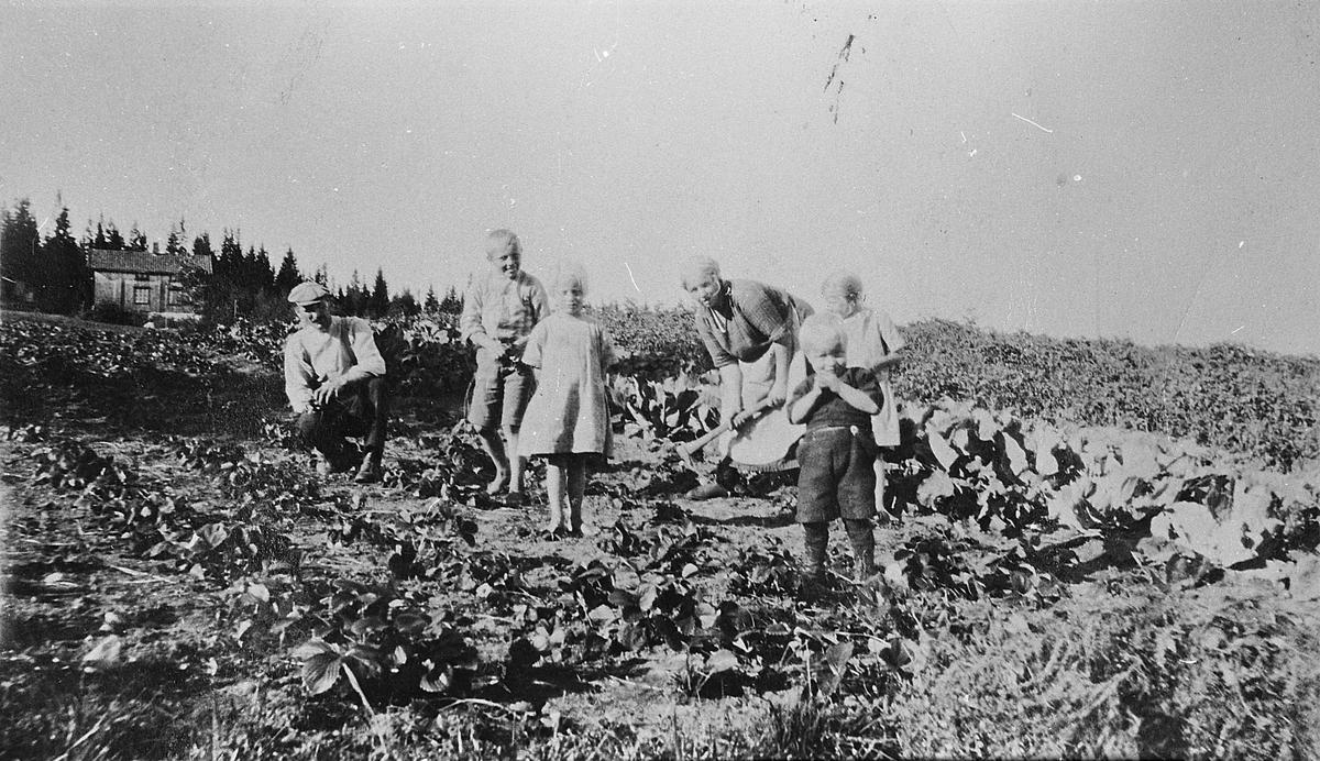 Arbeid i åkeren. Granli i Feiring, 1927. Høsting av grønnsaker.