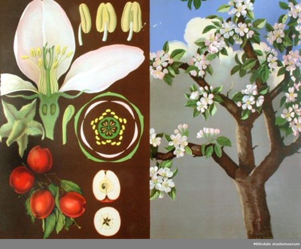 Biologi:Äppleträd.