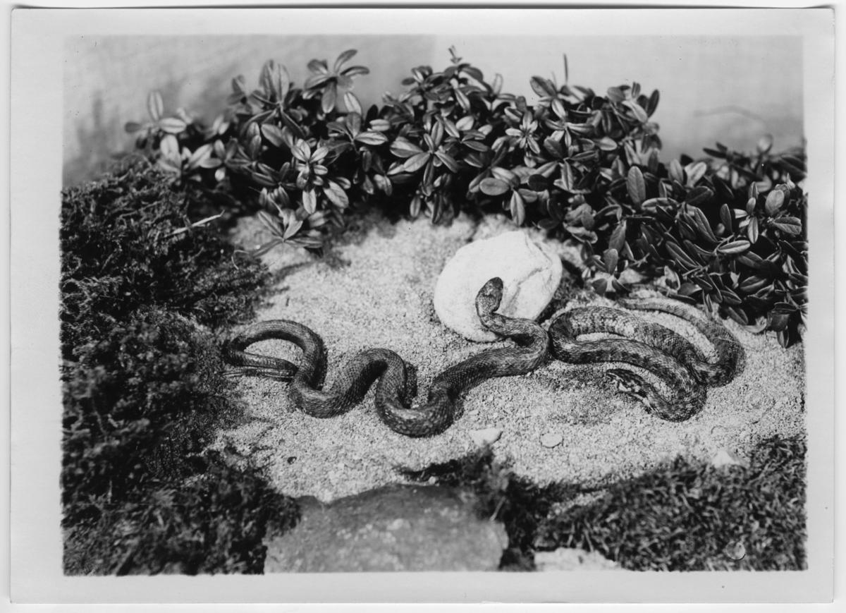 '2 vattensnokar, enligt bildtext en sydösteuropeisk släkting till vår vattensnok, med huggormsliknande teckning. ::  :: Ingår i serie med fotonr. 7015:1-91 med bilder av reptiler från Otto Cyréns samling.'