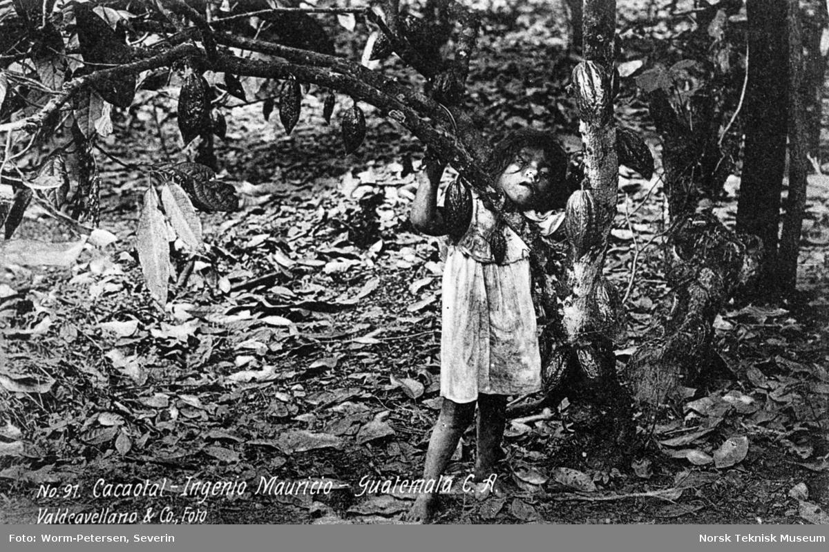 Høsting av kakaobønner, Guatemala
