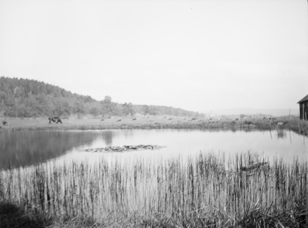 Kuene ved dammen. Siv og gress i forgrunnen og skogkledte åser i bakgrunnen. En liten bit av en låve sees også på den ene siden.