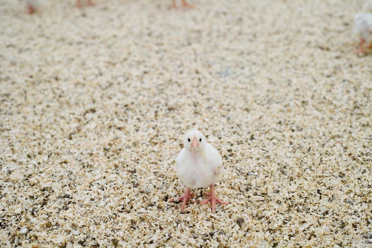 Kylling i kyllingefarm