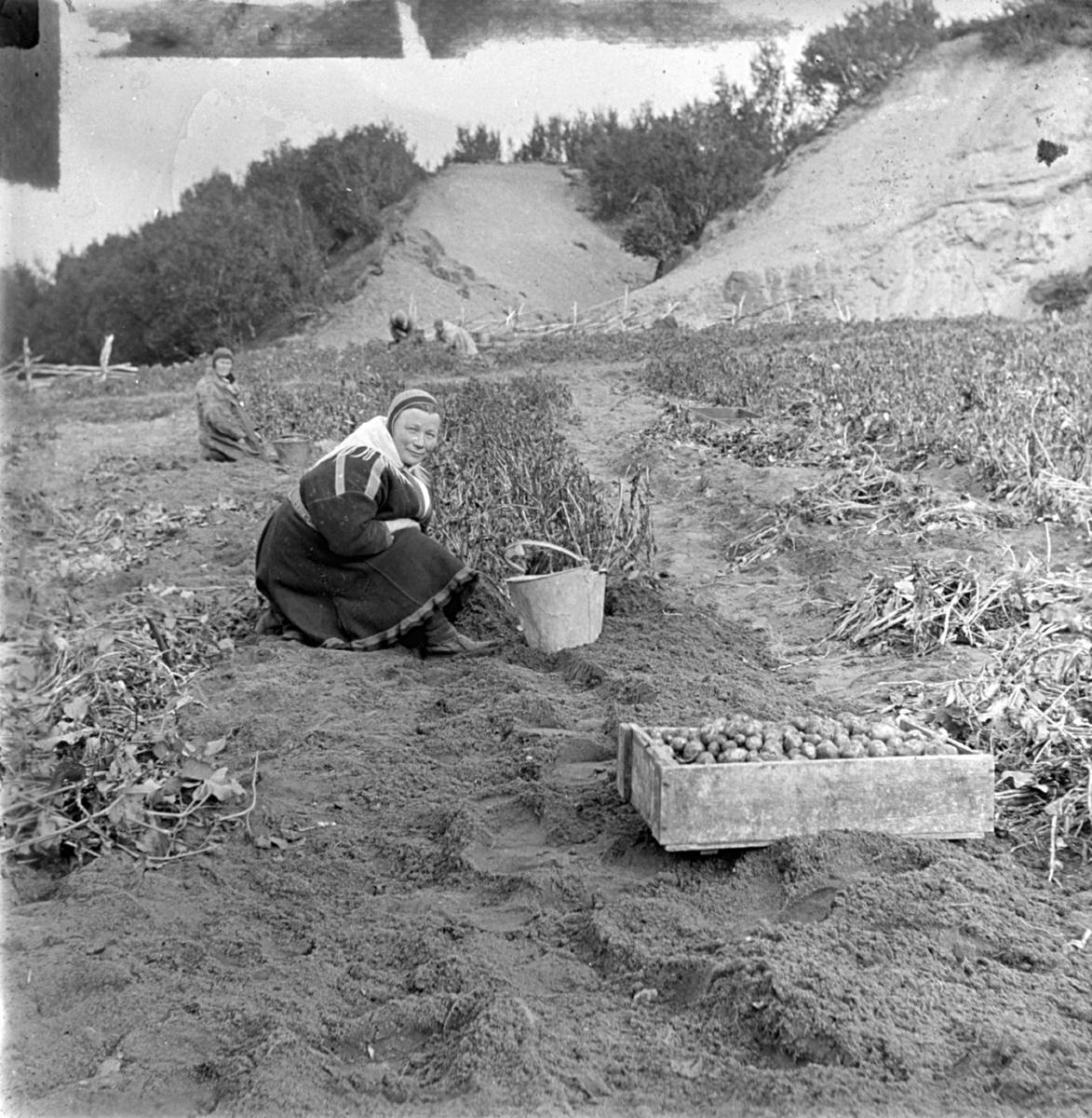 Potetdyrking. Samer som tar opp poteter fra åkeren. I forgrunnen står det en kasse poteter. Kvinnen i forgrunnen har en skinkbøtte som hun samler potetene i. Hun bærer samisk kofte, sjal og lue og har komager i skinn på bena.