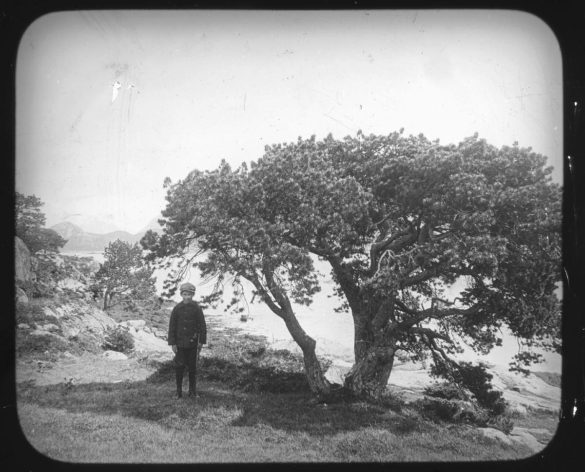 """""""Det Nordlige Norge. Serie 109. No. 2"""" står det på glassplaten.  Del av en serie. Portrett av en liten gutt med sixpencelue og kneppet jakke, nickers og støvler som står i skyggen av et karakteristisk furutre.  Treet står ved sjøkanten og til venstre i bildet helt ute i horisonten skimtes store fjellmassiver.  Bildeserien av botaniker Hanna Resvoll-Holmsen er fra Nordland, Troms og Finnmark. Vi vet at hun tilbrakte endel tid i Lebesby, Finnmark, i 1909. Fotoserien er sannsynligvis tatt på reisen nordover og i Øst-Finnmark. Botaniker Hanna Resvoll Holmsen fikk et reisestipend fra Universitetet i Oslo for å kartlegge arktisk vegetasjon i 1909. To foredrag om en ekspedisjon til Svalbard i 1907 ga grunnlag for et reisestipendet fra Oslo Universitet til Øst-Finnmark i 1909. Hanna Resvoll-Holmsens Svalbardekspedisjon kom i stand med støtte fra fyrsten av Monaco, som ville gi ut en bok om Svalbard. Hanna  gikk alene i land på Svalbard i juli 1907 og tilbrakte en måned i telt, med gevær og utstyr for innsamling og preservering av planter. Studiene på Svalbard ble senere publisert med overskriften """"Observations botaniques"""" og utgitt i Monaco.  Hanna Resvoll Holmsen regnes også som pioner innen fargefotografi, de tidligste fra før 1910, blant annet fra Svalbard."""