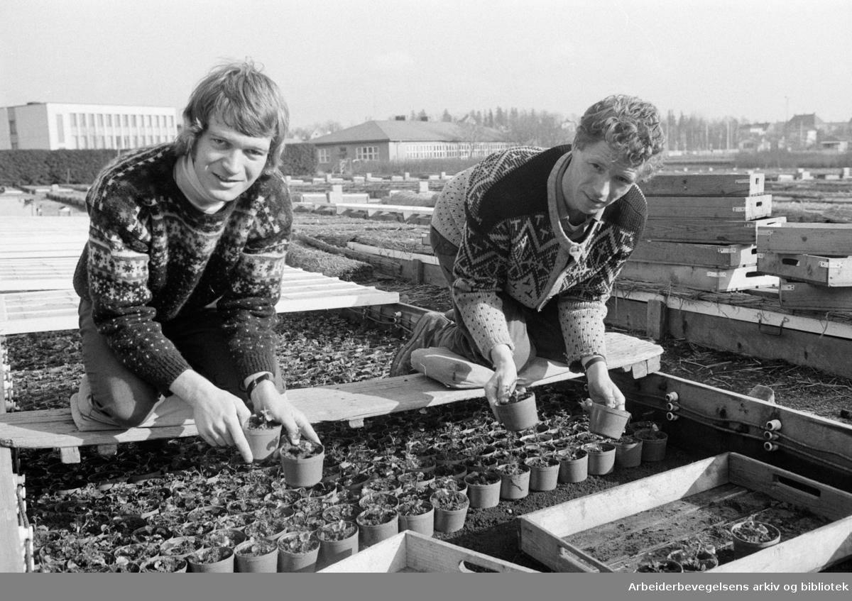 Sogn gartneri. Harald Ringen og Kjell Olsen er i full gang med utsetting av planter. Mars 1973