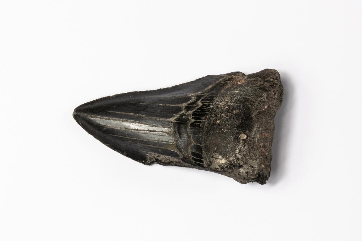 Ett fossil av en tand av hajarten Megalodon.