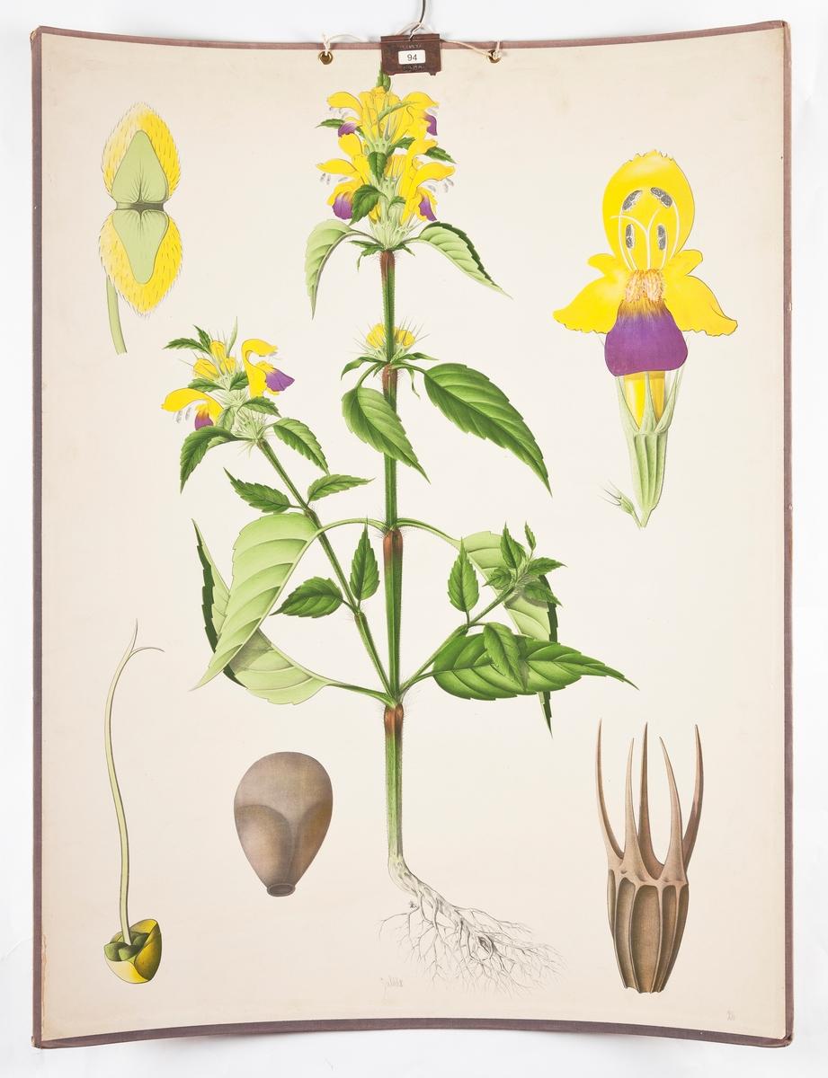 Botanikkplansjer. Fargetrykk med opphengskrok.   Guldåe
