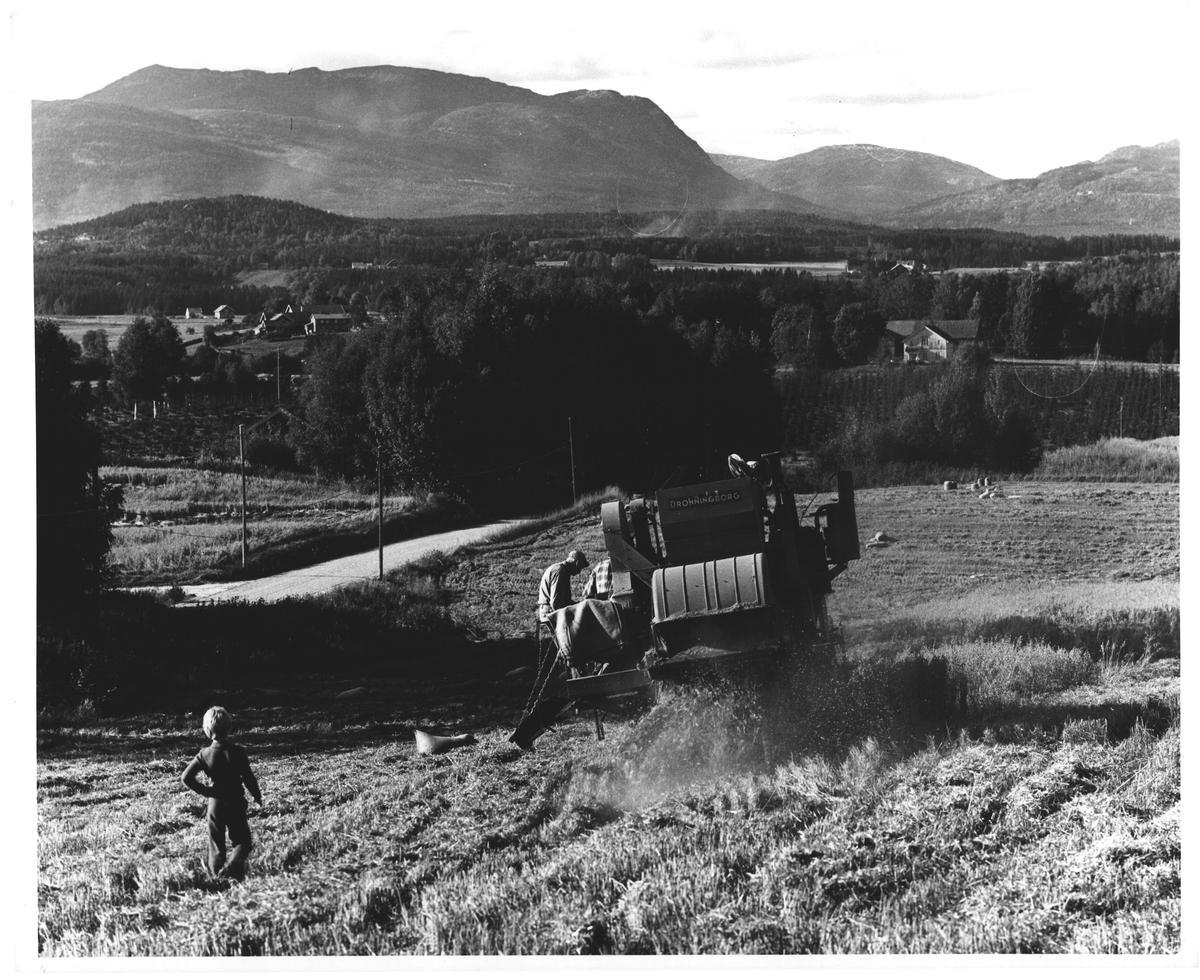 Skurtresking i Gvarv, mot Bø - Lifjell
