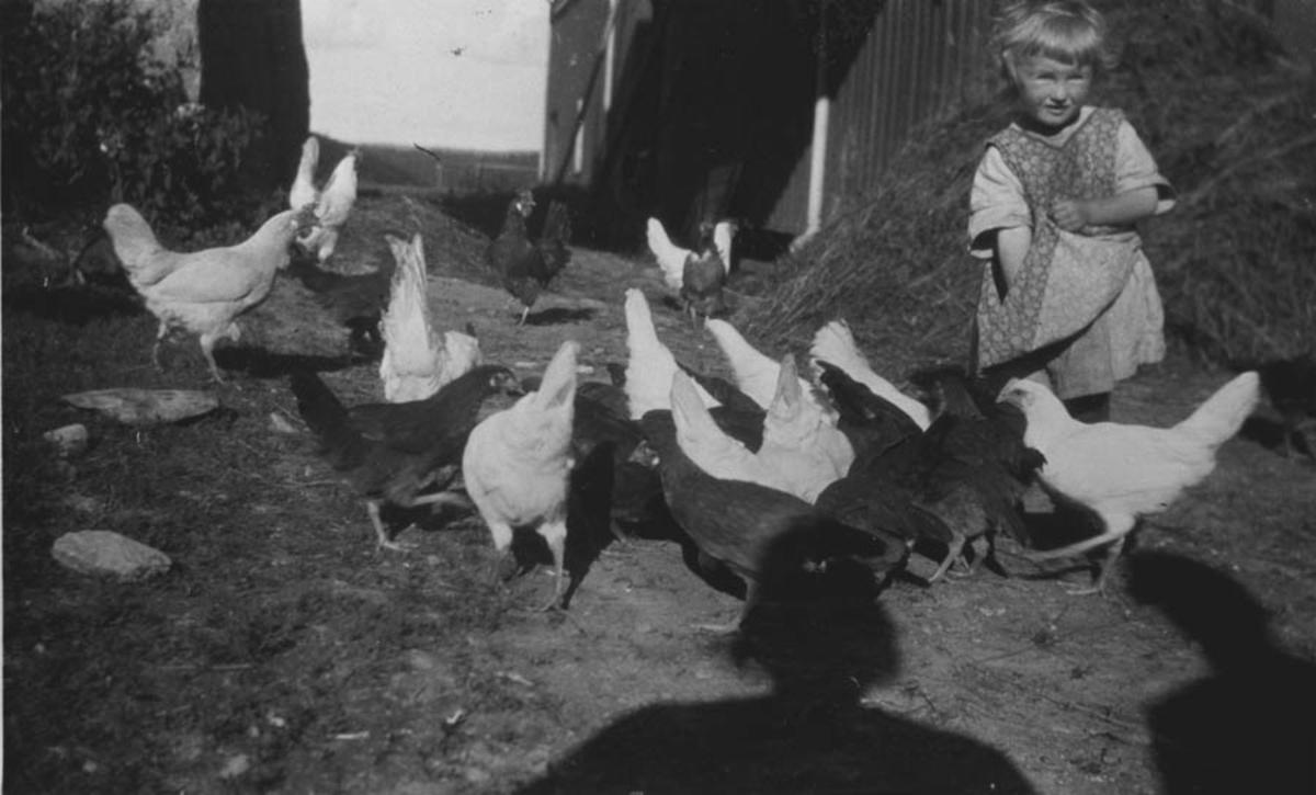 Gulborg forer hønene utenfor fjøset, Ambjørnrud.
