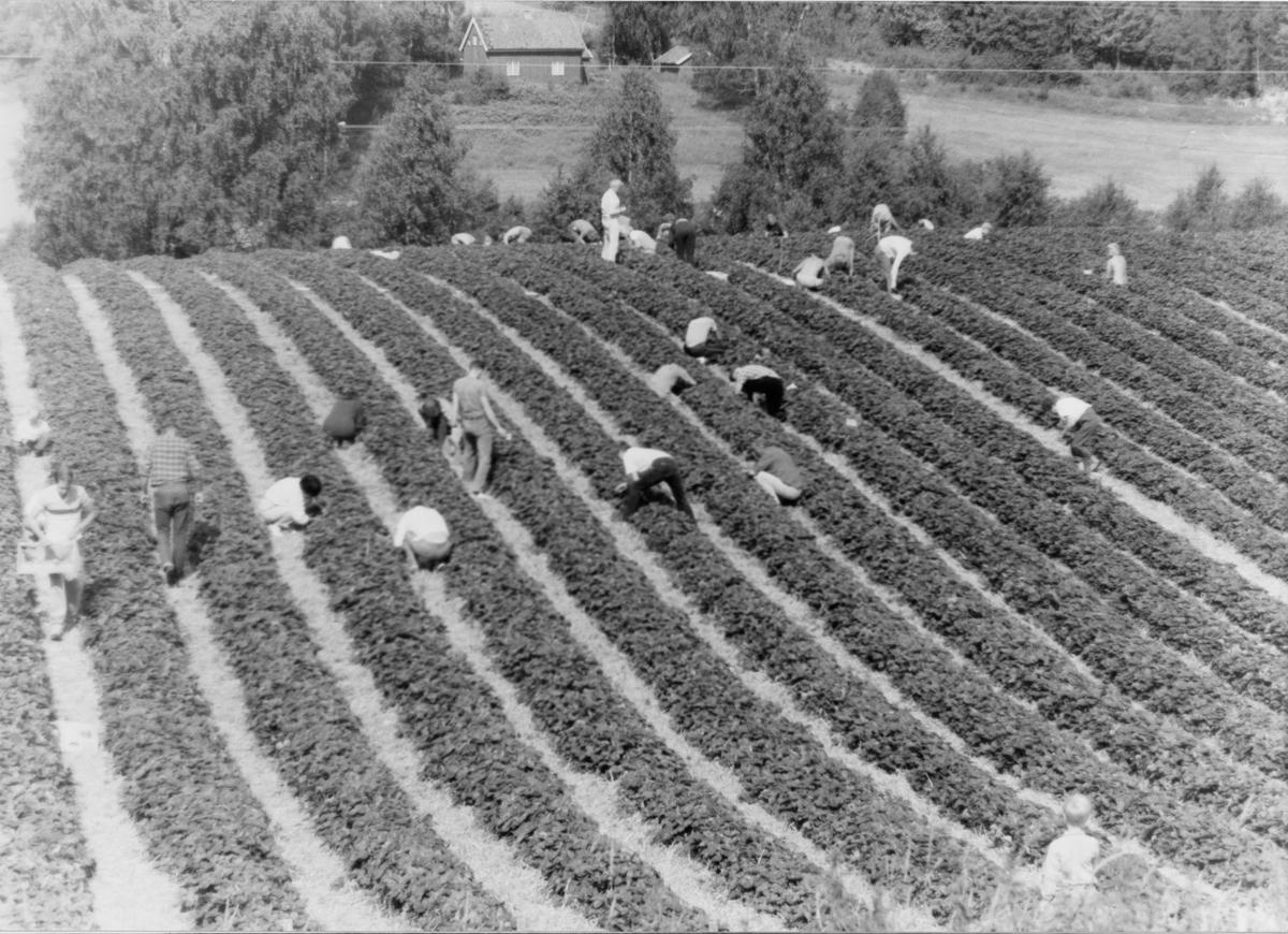 Selvplukk av jordbær hos familien Henriksen, Nedre Haug på Rotnes.
