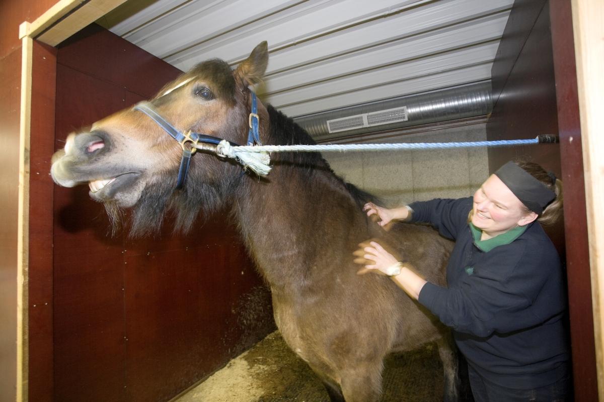 Svømme- og rehabilieteringssenter for hest. Hest forberedes  på svømmeturen på senteret.