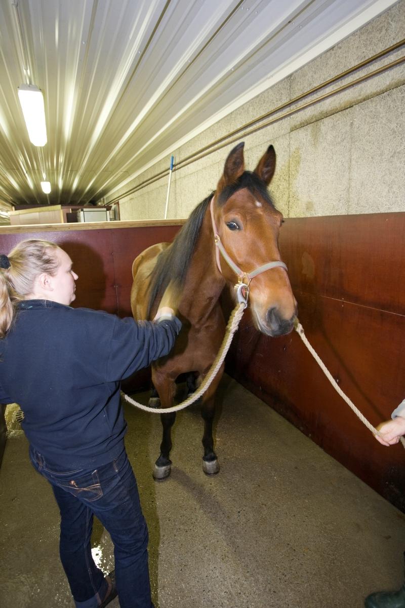 Svømme- og rehabiliteringssenter for hest. Hest før svømmetur i svømmebasseng.