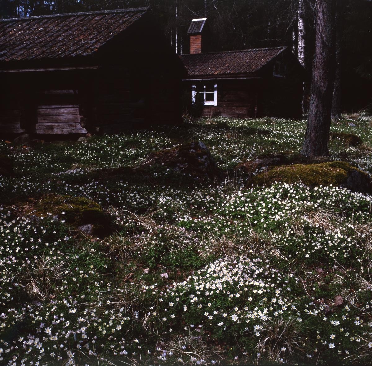 Vitsippor i Västerby hembygdsby maj 1992.