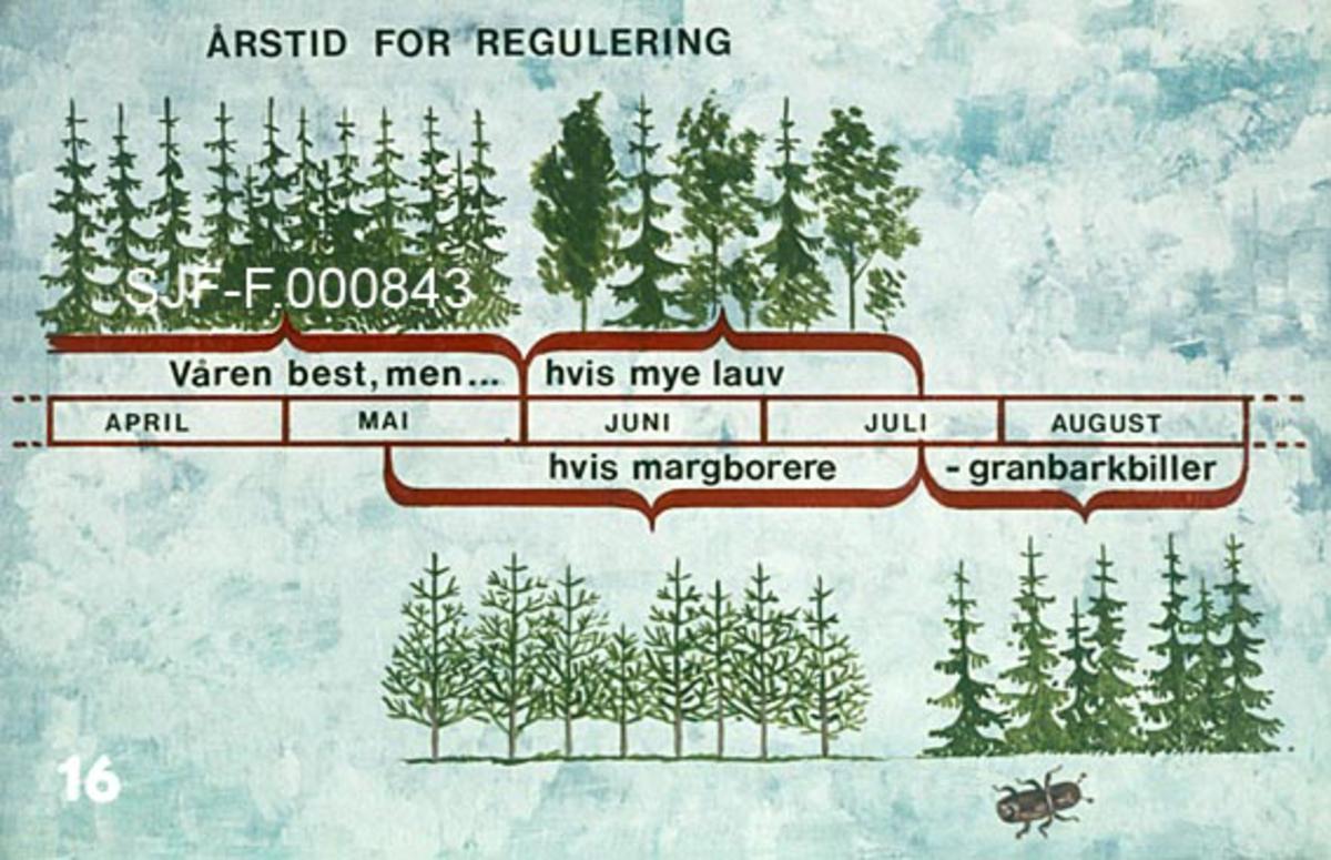 """Figur som viser ideelle tider for avstandsregulering i ulike typer skog.  Skogstypene er vist i tegning.  Figuren informerer om at våren (april og mai) er den beste tida for avstandsregulering i granbestand, men at en også kan utføre slikt arbeid i juni og første halvdel av juli dersom det er mye lauvvirke i bestandet.  Det presiseres også (illustrert med tegning av furutrær) at en kan tynne i andre halvdel av mai, juni og juli dersom det er margborere i bestandet, eller i siste halvdel av juli og august dersom granbarkbiller er et problem.  Det siste er illustrert med tening av et lite granbestand.    Denne figuren inngikk i en undervisningsserie, som ble produsert og distribuert av Landbrukets Film- og Billedkontor i 1976.  Med serien fulgte det et teksthefte, hvor dette fotografiet er koplet til følgende tekst (skrevet av forstkandidat Hermann Moen):  """"Årstid for regulering.  Den beste tilden for avstandsregulering er vanligvis om våren, slik at de gjenstående trærne får en vekstsesong til å stabilisere seg mot snøskader.   På felter hvor det skal fjernes mye lauvtrær er det best å rydde midtsommers, for da blir det mindre av ny tennung.   Hvis det er mye barkebiller, må reguleringen skje etter at billene har svermet, men så tidlig at de felte trærne tørker og ikke blir egnet til yngleplasser neste vår.  Reguleringen bør da skje i følgende perioder:  Furu med skorpebark: 15. mai - 20. juli Gran: 20. juli - 1. september  I furuskog som er lavere enn ca. 2, 5 m. har trærne lite skorpebark, og reguleringen kan da skje hele året uten særlig fare for billeangrep. """"   Denne teksten gir et godt innblikk i innsikter og holdninger som preget skogbehandlinga i norske fagmiljøer på 1970-tallet."""